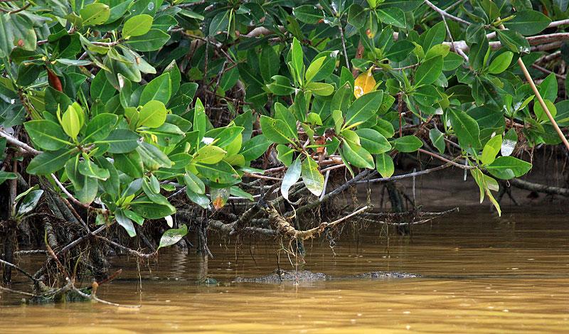 Крокодил в реке в национальном парке Сиан Каан