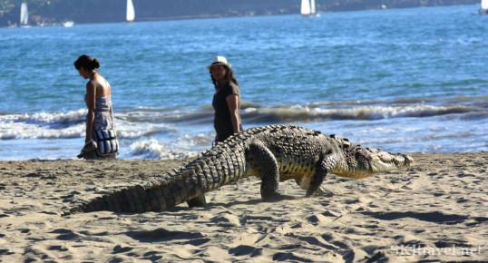 Гулящий крокодил на пляже Икстапы