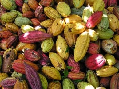 Свежесобранные какао бобы