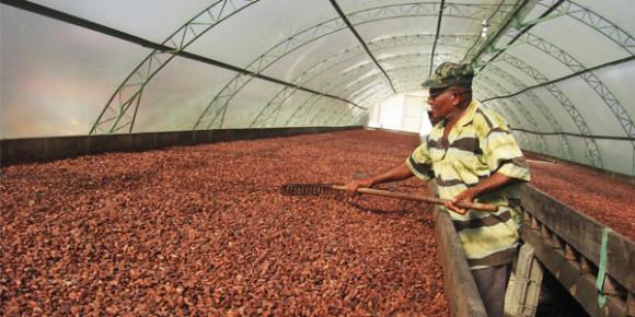 Сушка какао бобов в Мексике