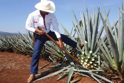 Фермер изымает голубую агаву из земли. Текила