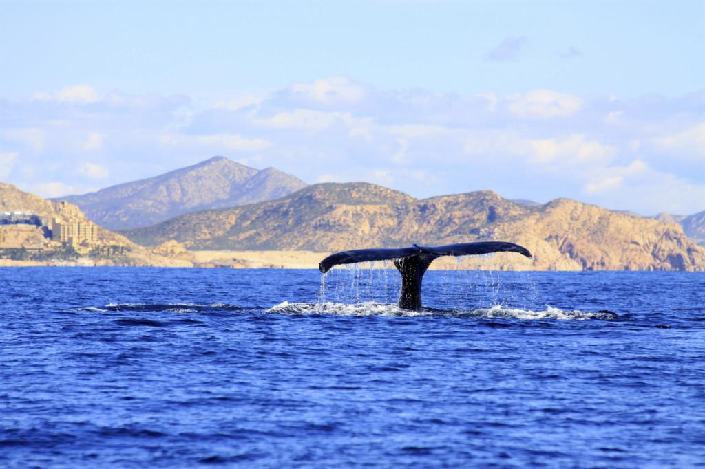 Кит показывает свой хвост в морском заповеднике Эль Вискаино