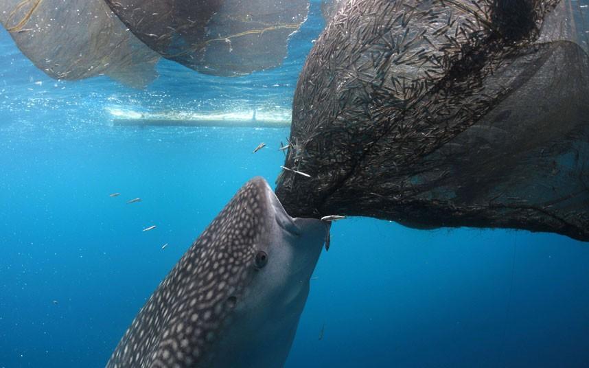 Китовая акула ворует мелкую рыбу из рыбацкой сети. Мексика. Питание акул