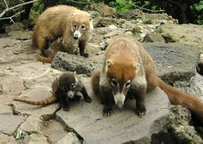 Коати в дикой природе в Штате Морелос