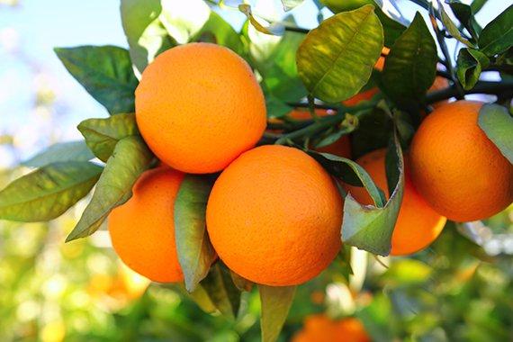 Наранха - Апельсины из Монтеморелоса, Нуэво Леон, Мексика