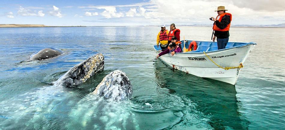 Серые киты вплотную приблизились к лодке с туристами. Тихий океан. Мексика