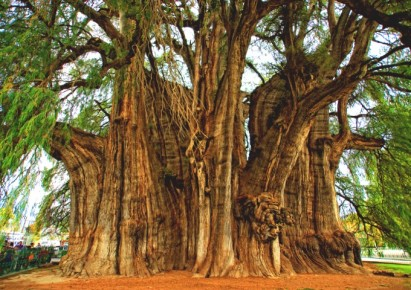 Древнейшее дерево Туле