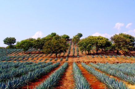 Мексиканское наследие это безграничные поля агавы, город Сантьяго де Текила, Мексика