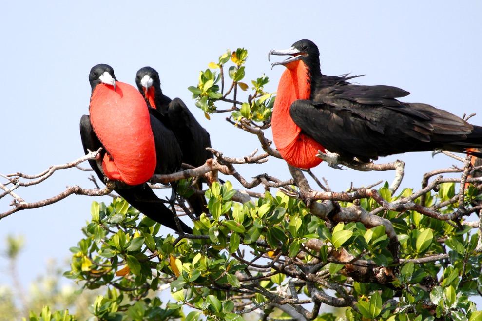 Фрегаты самцы в брачный период отдыхают в манграх заповедника Рио Лагартос, Мексика