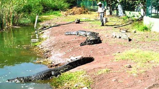 krokodilovaya-ferma-v-lagune-alkusaue-tekoman-meksika