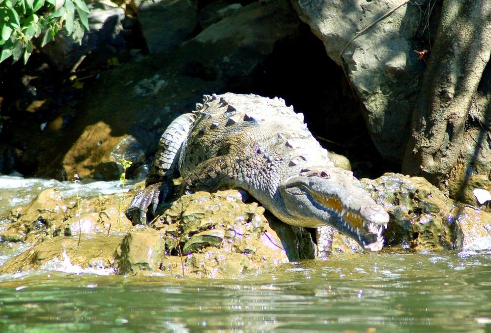 Крокодил местный житель реки Грихальва и каньона Сумидеро, штат Чиапас