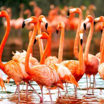 Огромное семейство розового фламинго ради которого стоит приехать в заповедник Селестун, Мексика