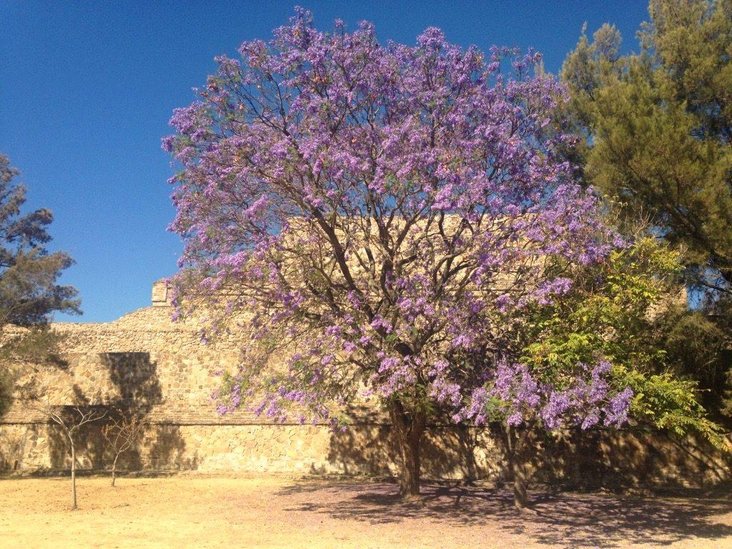 Цветущая акация в Монте Альбан. Оахака