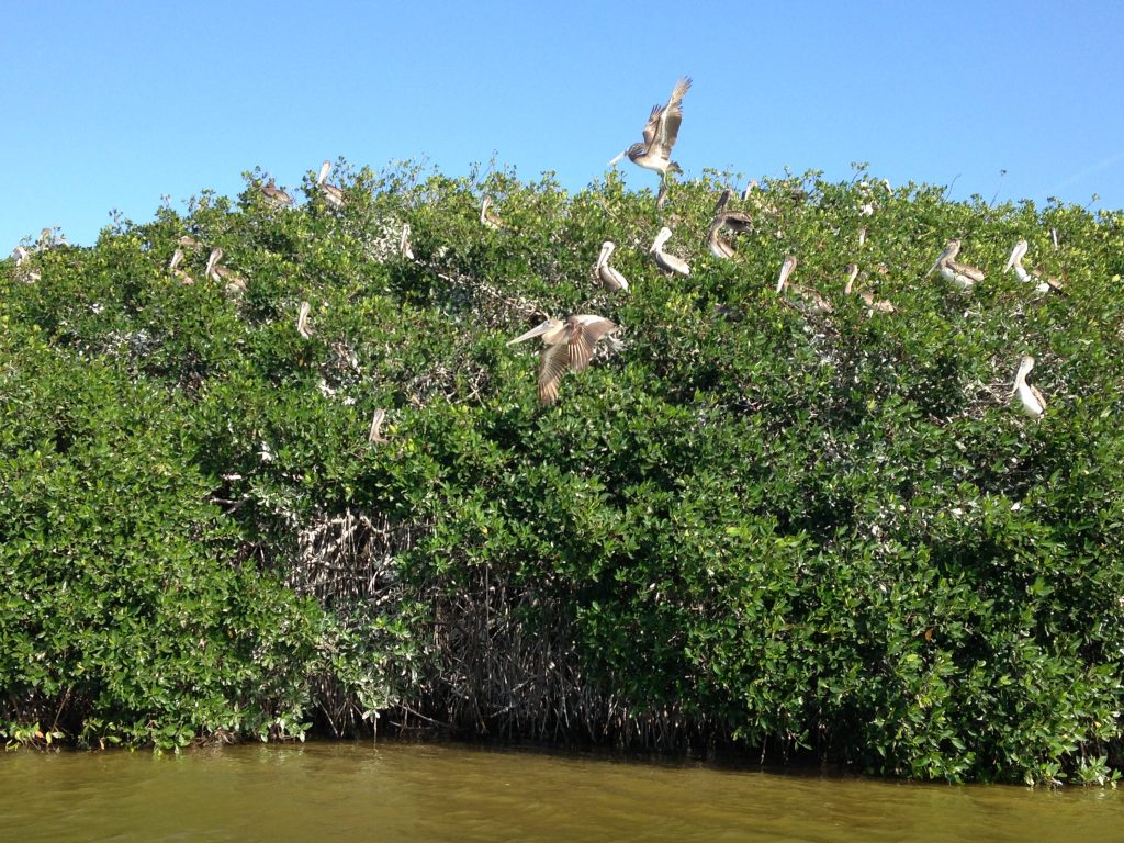 Гнездовье пеликанов, заповедник Селестун