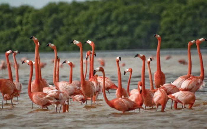 Розовых фламинго можно часто встретить в заповеднике Рио Лагартос.