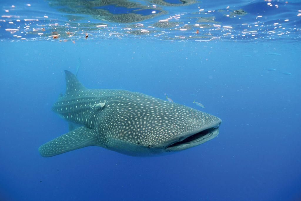 Китовых акул можно встретить недалеко от Острова Женщин с мая по сентябрь.