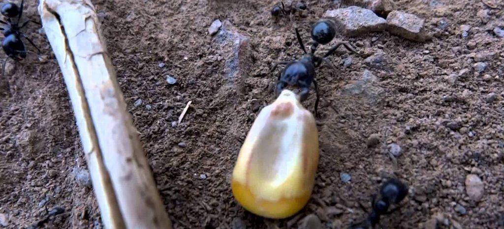 муравьи и кукуруза, легенда
