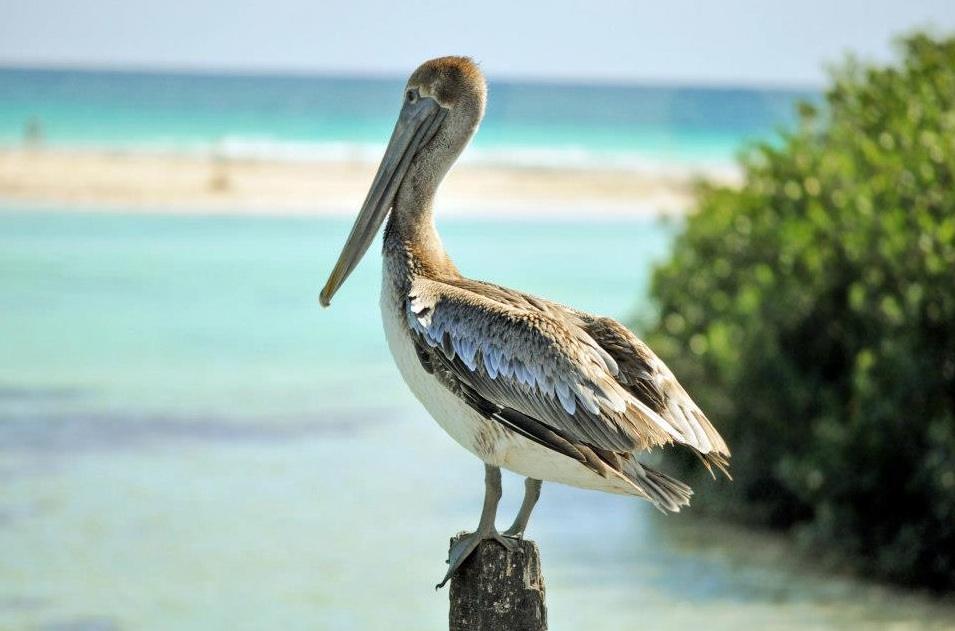 Пеликан отдыхает после рыбалки. Парк Сиан Каан