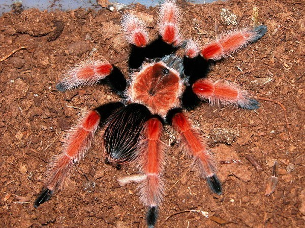 Мексиканский паук