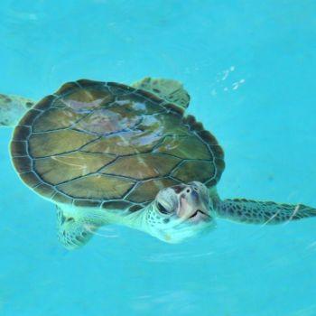 Черепаха Шкарет аквариум