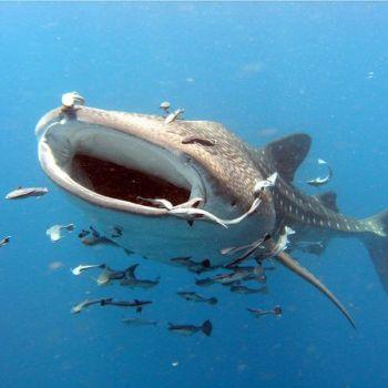 Акула в сопровождении рыб-прилипал