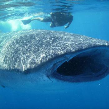 Догнать в воде акулу сложновато