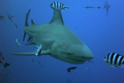 Опасные акулы в Мексике