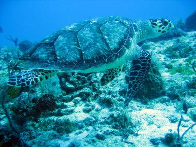 Морская черепаха на Косумеле