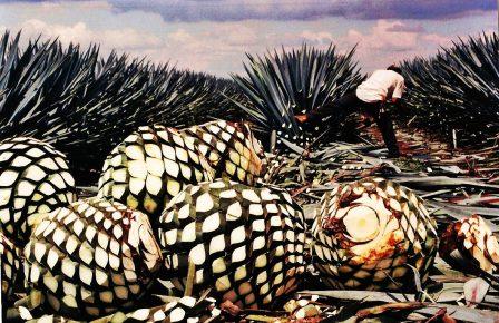 Голубая агава. Текила Мексики