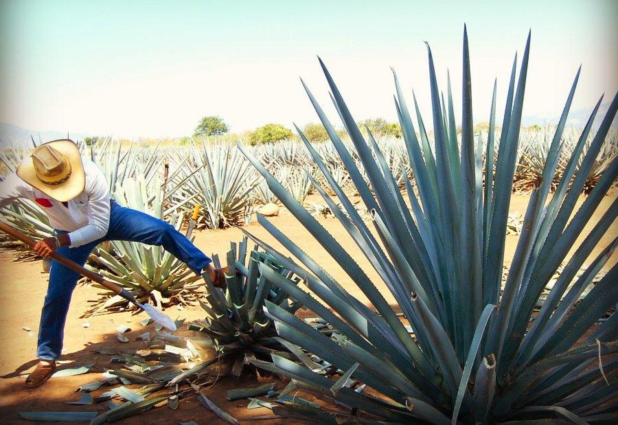 Выращивание текилы, голубой агавы