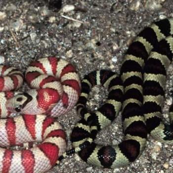 Кингснейк. Королевская змея в Дуранго. Мексика