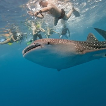 Плавание с китовой акулой в районе острова Хольбош. Мексика