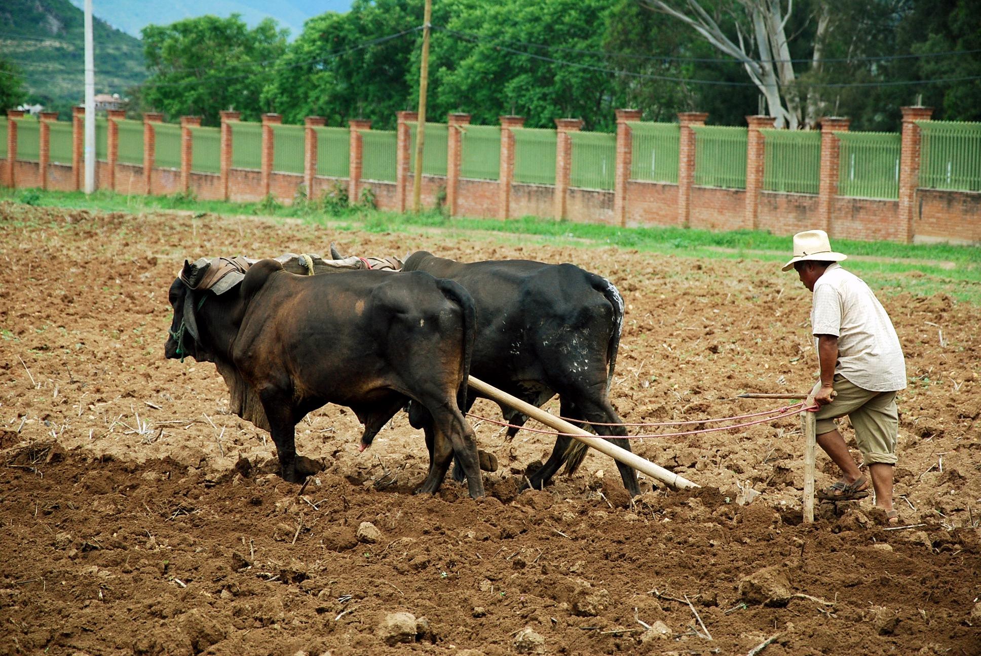 Дедовский способ обработки земли в штате Оахака. Агропромышленность Мексики. Сельское хозяйство и животноводство Мексики