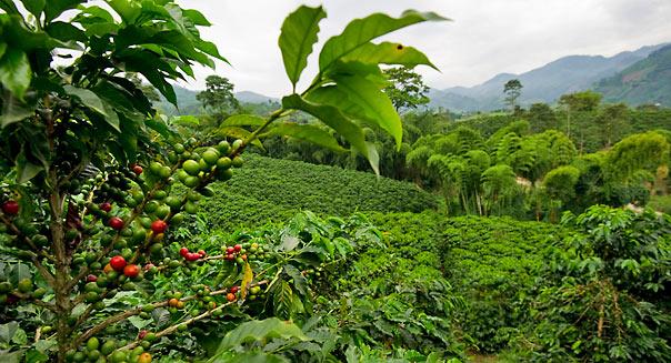 Плантации кофе в горных районах Чиапаса. Мексика