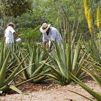Плантация агавы в деревне Темоссон