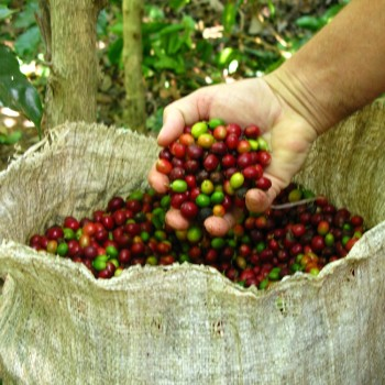 Свежесобранный мексиканский кофе