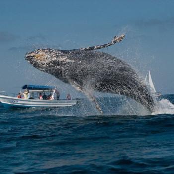 Серый кит танцует в море у берегов Мексики