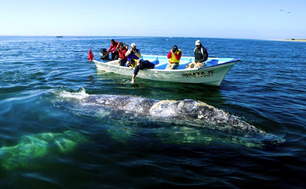 Обитание Китовых акул в водах Калифорнийского залива, Лорето, Мексика