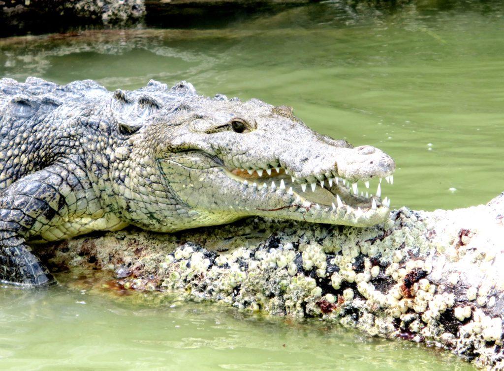 Загорающий крокодил в водах биосферного заповедника Рио Лагартос, Мексика