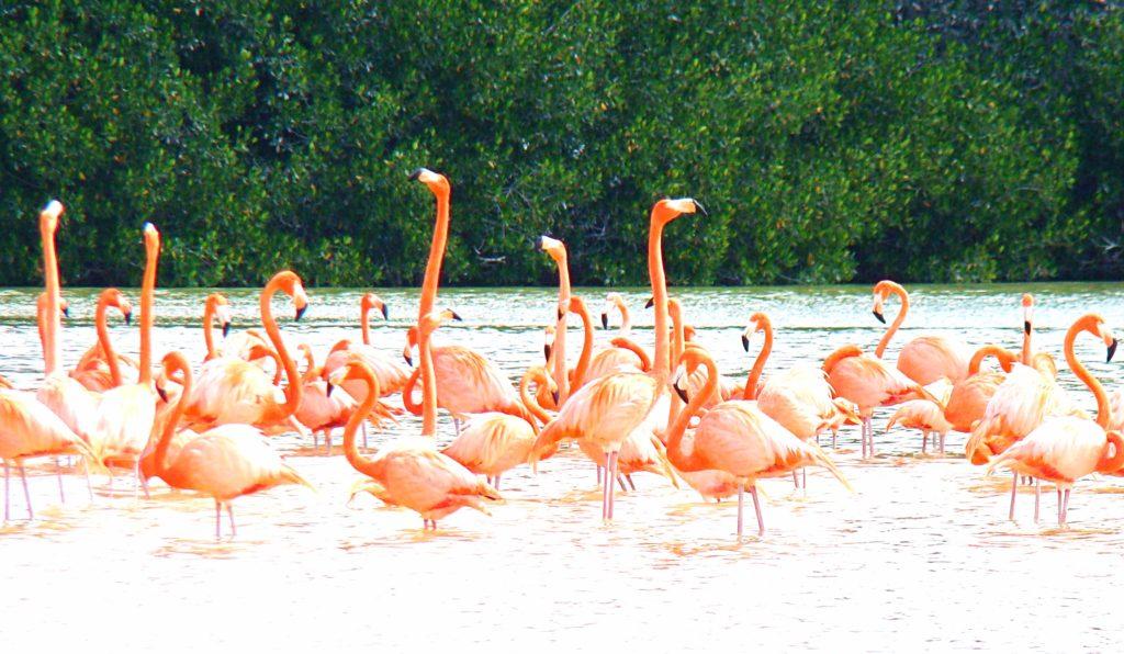 Необычайной красоты розовый фламинго отдыхая в водах заповедника Селестун