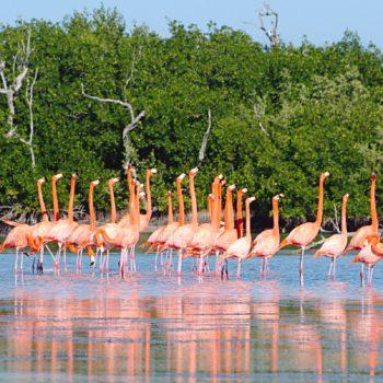 Прекрасные птицы розовые Фламинго, грациозные и статные. На каникулах в биосферном заповеднике Рио Лагартос