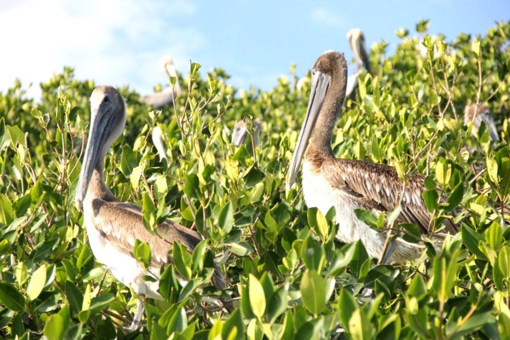 Пеликаны отдыхающие на мангровых ветвях заповедника Селестун, Мексика