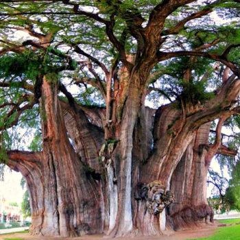 Самое большое дерево в диаметре Туле, штат Оахака