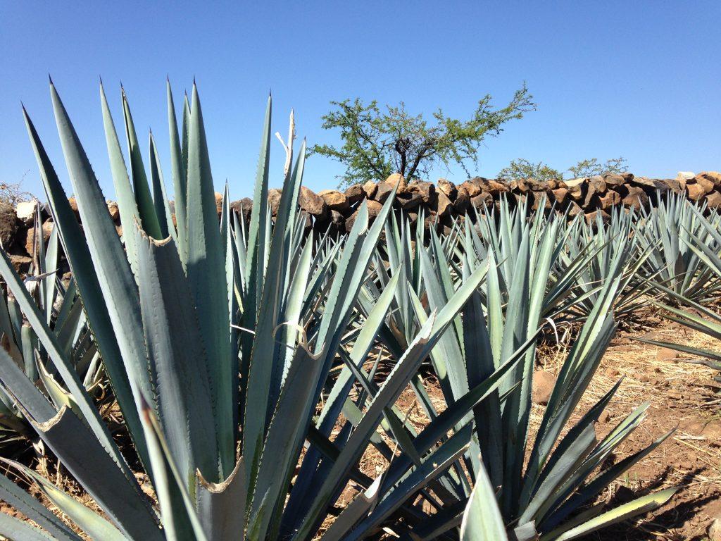 Поля голубой агавы, штат Халиско