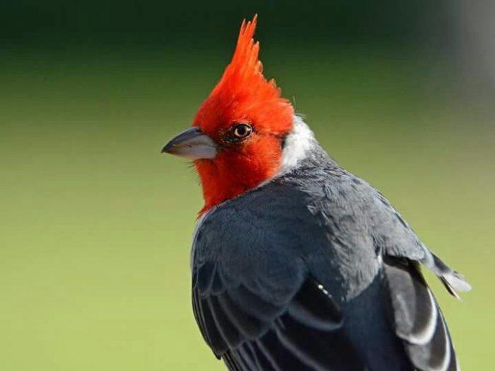 С тех пор каждое утро кардиналы спускаются к сенотам, чтобы петь для прекрасных цветов лотоса.